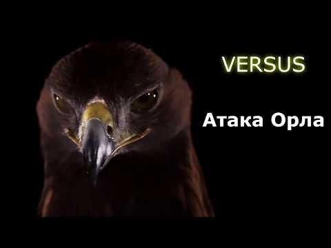 ВЕРСУС.  АТАКА ОРЛА! Невероятные кадры нападения орлов!