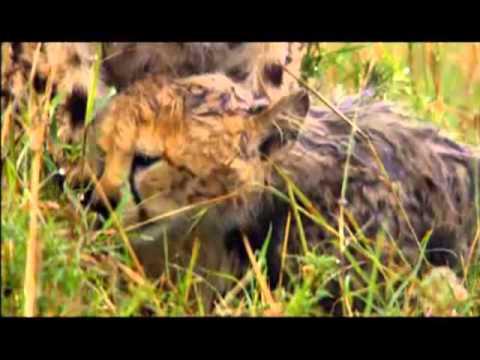 felinos de africa trailer español latino
