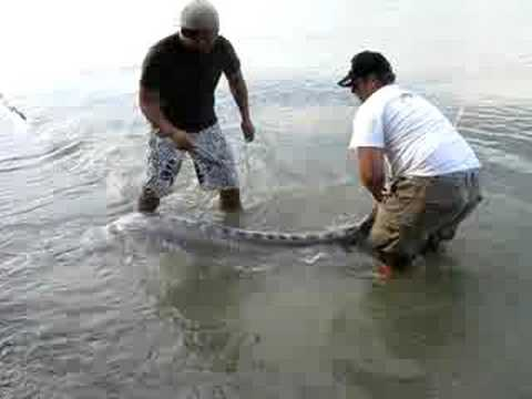 BC Fraser River Sturgeon Fishing over 350 pounds