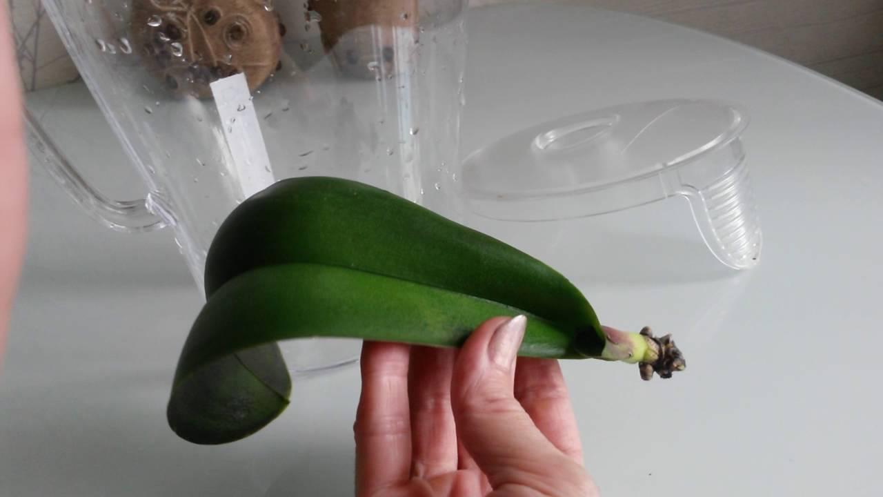 Орхидея в домашних условиях без корней 999