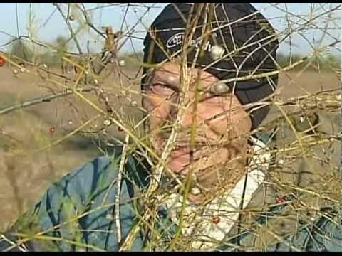 Wild Asparagus Plant Wild Asparagus Foraging Tips