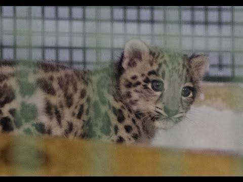 ユキヒョウの赤ちゃん一般公開初日~Snow Leopard Baby at Sapporo Maruyama Zoo
