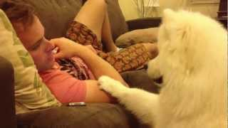 Samoyed puppy hugs #2