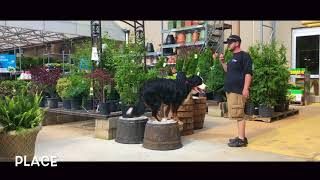 Dog Training: Cornelia- Burmese Mountain Dog- Before/After Two Week Board and Train