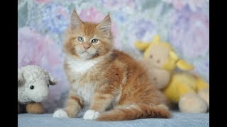 Mainecoon red -Hadson Hawk Mon Amour Coon