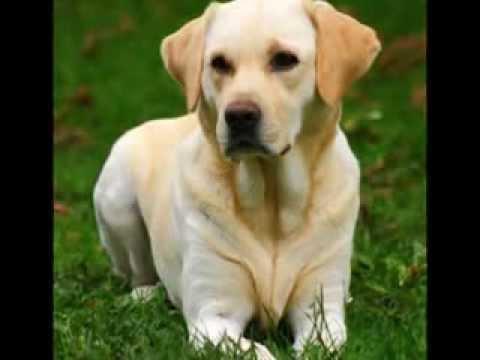 Las 10 razas de perros mas inteligentes (1er video)
