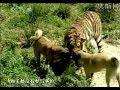 turkish dog kangal attacking lion tige