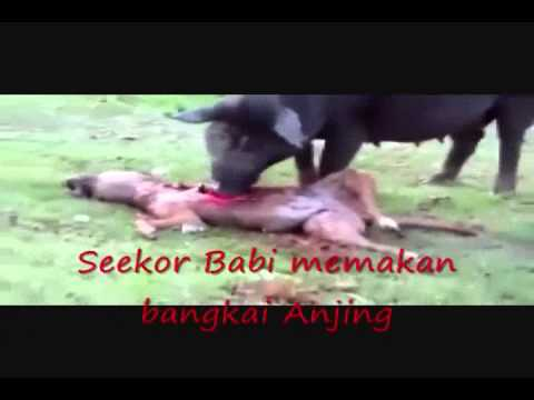 Alasan Haram Memakan Babi