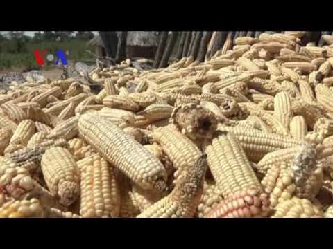 Africa Maize