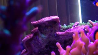 Montipora-Eating Nudibranch