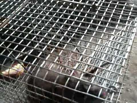 Ловушки для крыс ютуб