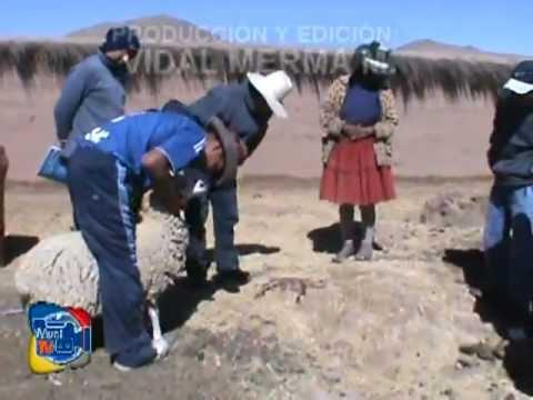 Nacimiento De Oveja Sin Cabeza - Espinar (huancan� Bajo) 2012