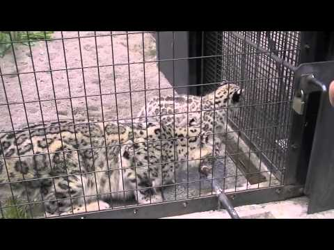 元気に動き回るユキヒョウの赤ちゃん~Snow Leopard's Baby is playing