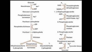 06.02. Respiration (Glycolysis) Part 02 | শ্বসন (গ্লাইকোলাইসিস) পর্ব ০২ | OnnoRokom Pathshala