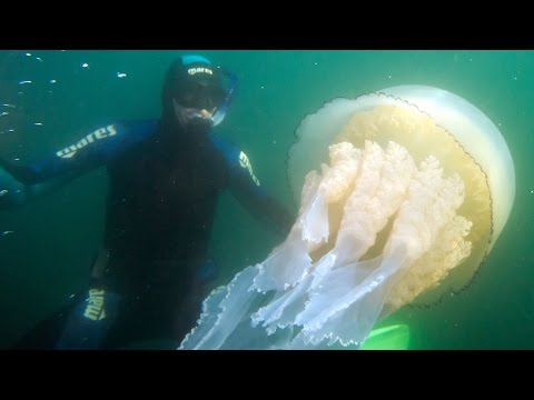 Giant Jellyfish Found By Divers In The UK