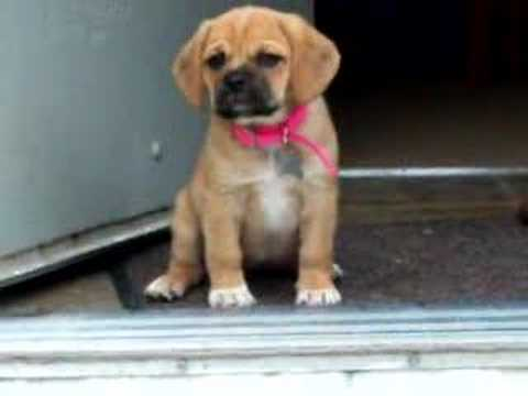 Puggle Puppy Afraid to go down steps