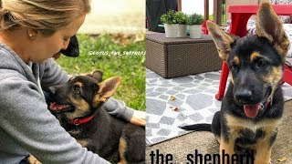 Surprise New German Shepherd Puppy! Meet Lotus. 10 Week Old GSD Pup Enters Our Life!