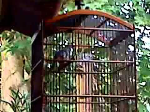 Burung Ciblek 3x Menang Kontes video