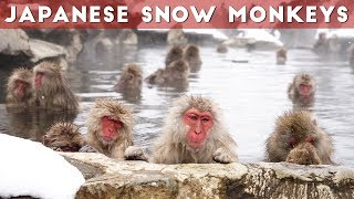 Snow Monkeys of Japan | Jigokudani Snow Monkey Park