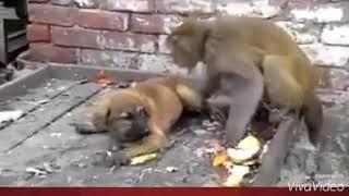 Dog. Vs. Monkey. Funny. Video