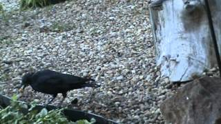 The Majesty Of Crows Clip 376