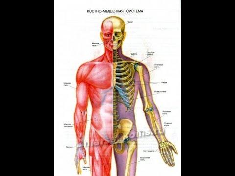 Костно мышечная система. Суставы. Кальций