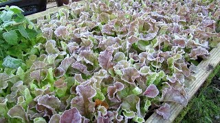 Examples of Cool Weather Vegebles that Can Take  a Frost - Lettuce, Kale  More Frost Pictures!