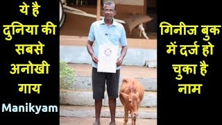 Manikyam Is Worlds Shortest Cow Recognised By Guinness World Record || News For You
