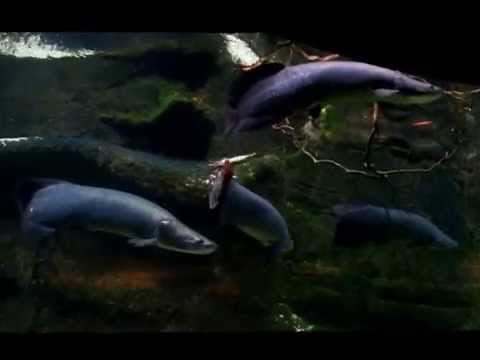 Zoo: Arapaima, Black Doradid and Arrau Turtles (Amazonian Animals)