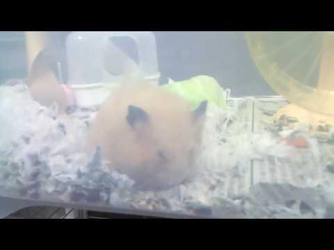 ペレットを食べ続けるキンクマハムスター