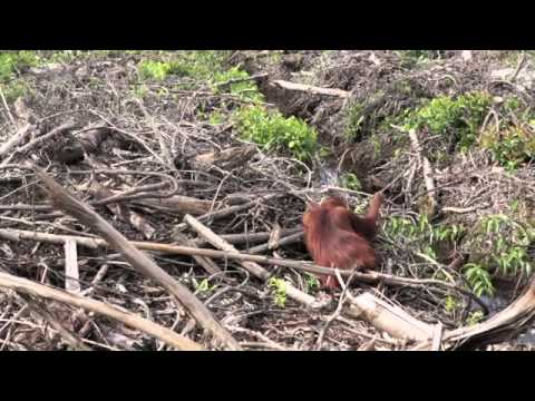 International Animal Rescue film shocking scenes of deforestation and starving orangutans