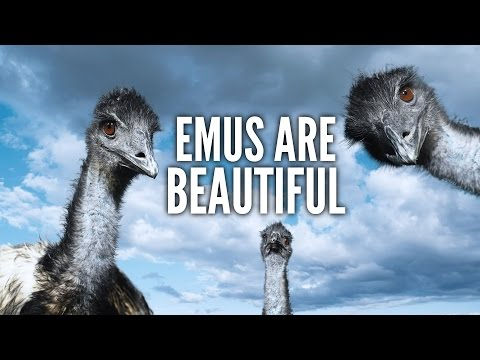 ♪ Emus are Beautiful ♪