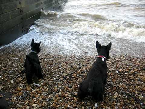 Basil and Olive the Scottish Terrier Dogs go to the seaside