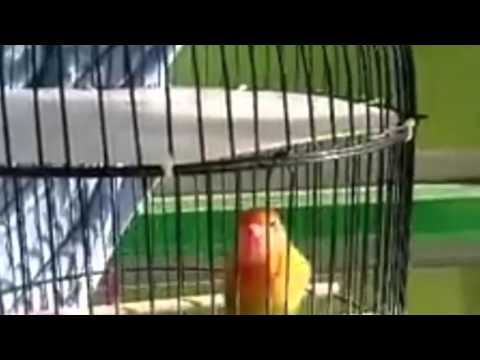 Birds chirp Home Based - Sounds charming bird Lovebird