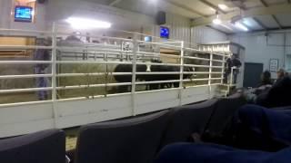 Selling Calves