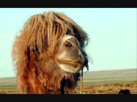 Poolers - Swinky de kameel (+Lyrics)