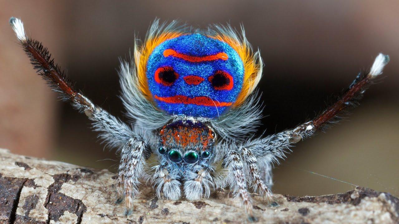 Peacock spider dance - photo#4
