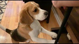 Cute beagle loves finding hidden treats