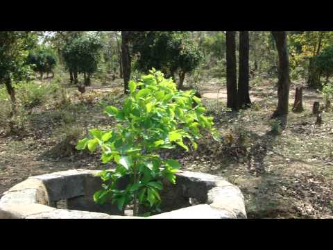 Indigenous Species beneficial for Sarpgandha (Rauvolfia) Cultivation. Part-3 © Pankaj Oudhia