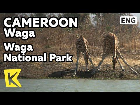【K】Cameroon Travel-Waga[카메룬 여행-와자]와자 국립공원, 다리가 길어 물 못 마시는 기린/Waga National Park/Wildlifes/Giraffe