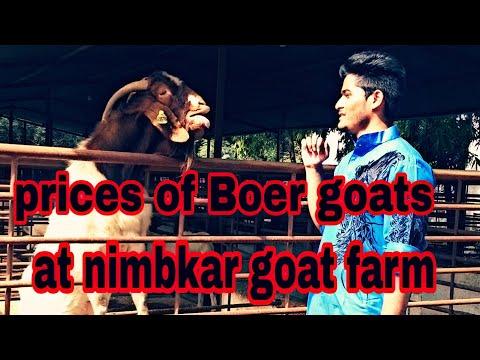 Price of Pure Boer Goats at Nimbkar Goat Farm | Gradewise Explained