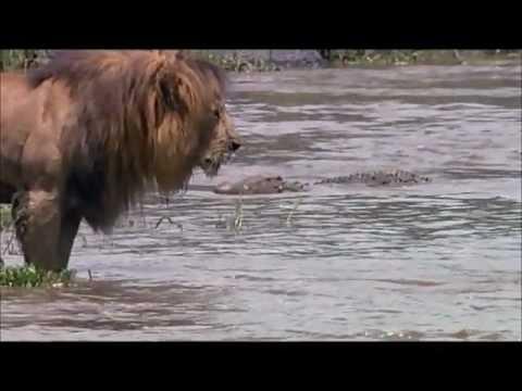 lion vs crocodile youtube
