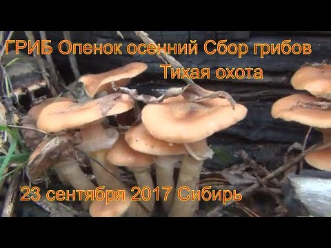 ГРИБ Опенок осенний Поход в лес.  Все виды опят 23 сентября 2017  Сибирь Сбор грибов Тихая охота
