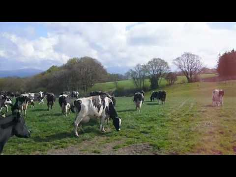 the dancing cows