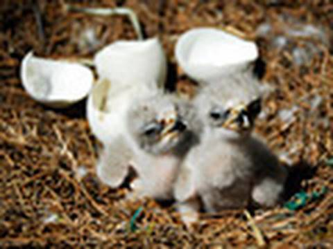 Chirpy Earth Day Babes: Bald Eaglet Hatchlings (AEF)