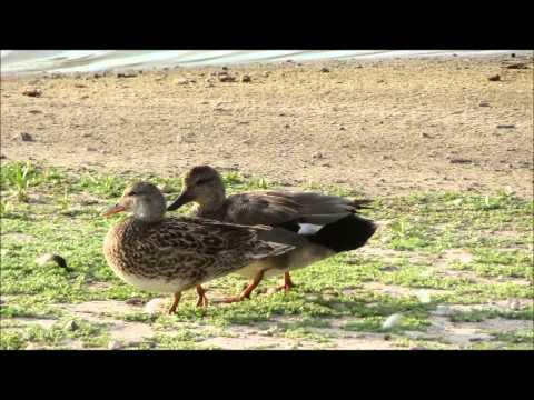 Male Gadwall Quacking