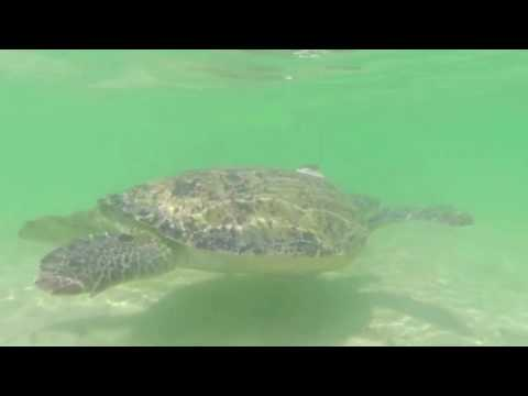 Gulf Green Turtle Conservation 2016