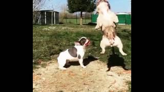 Cadela (Buldogue Francês) demorou pra pegar a corda. Mas quando pegou não soltou mais!
