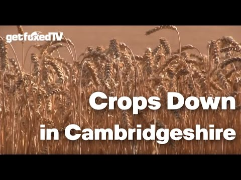 Crops Down in Cambridgeshire... Foxing with the Hunters!