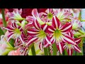 How to plant Exotic Amaryllis bulbs: Jeff Turner plants Amaryllis Hippeastrum in pots indoors